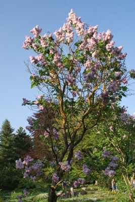 Syringa vulgaris 'Katherine Havemeyer' - Lilas Katherine Havemeyer