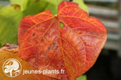 Cercis canadensis Red Force 'Minrouge3' ® - Gainier du Canada Red Force ®