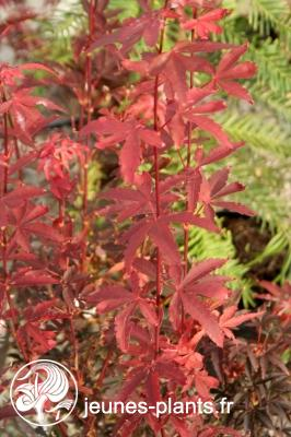 Acer palmatum 'Skeeter's Broom' - Erable du Japon Skeeter's Broom