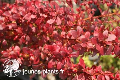 Berberis thumbergii 'Red Torch' cov - Epine vinette Red Torch