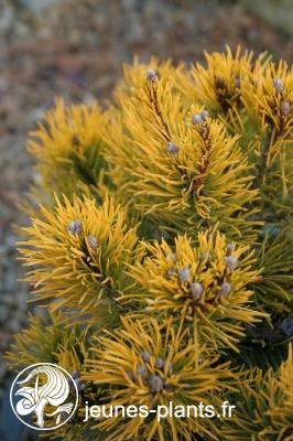 Pinus mugo 'Winter Gold' - Pin nain doré