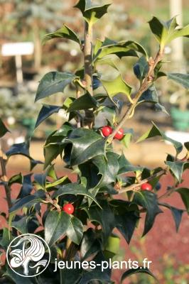 Ilex x aquipernyi Dragon Lady 'Meschick' - Houx Dragon Lady