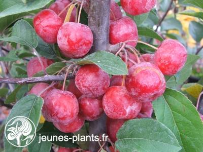 Malus x robusta 'Red Sentinel' - Pommier à fleur Red Sentinel