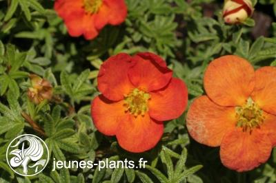 Potentilla fruticosa Red Ace 'Bloace'  - Potentille Red Ace