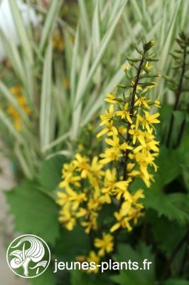 Ligularia stenocephala 'The Rocket' - Ligulaire The Rocquet
