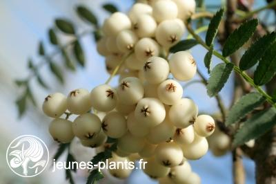 Sorbus 'White Magic' - Sorbier White Magic