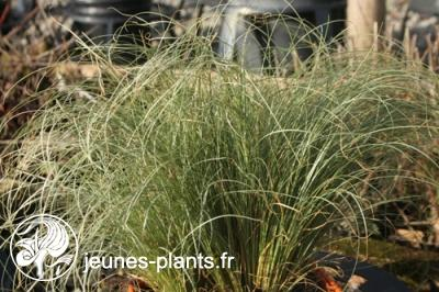 Carex comans 'Frosted Curls' - Carex Frosted Curls