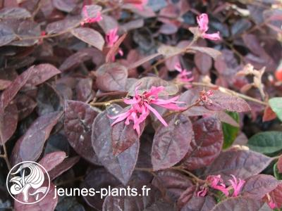 Loropetalum chinense f.rubrum 'Fire Dance' - Loropetalum pourpre