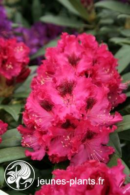 Rhododendron 'Madame Marie Fortie' - Rhododendron Madame Marie Fortie