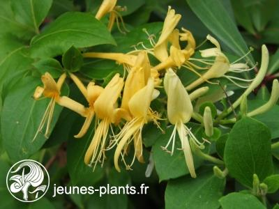 Lonicera japonica 'Hall's Prolific' - Chèvreufeuille Hall's Prolific