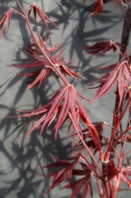Acer palmatum 'Moonfire' - Erable du Japon Moonfire