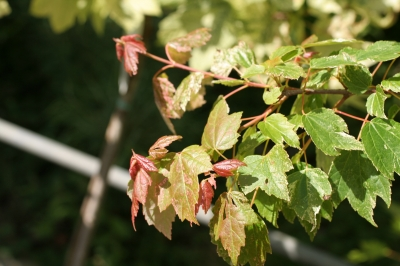 Acer rubrum 'Candy Ice'  - Erable rouge Candy Ice