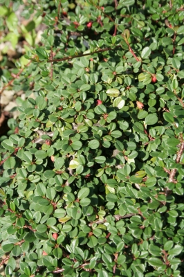 Cotoneaster 'Streib's Findling' - Cotoneaster Streib's Flinding