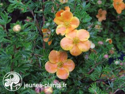 Potentilla Fruticosa 'Hopley's Orange' - Potentilla Fruticosa 'Hopley's Orange'
