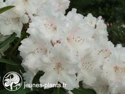 Rhododendron 'Loder's White' - Rhododendron Loder's White