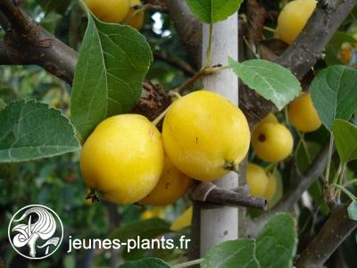 Malus x robusta 'Yellow Siberian' - Pommier d'ornement Yellow Siberian