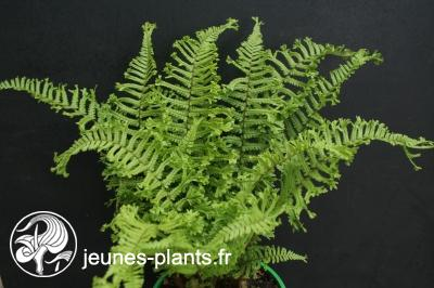 Dryopteris filix-mas 'Cristata The King' - Fougère mâle the king
