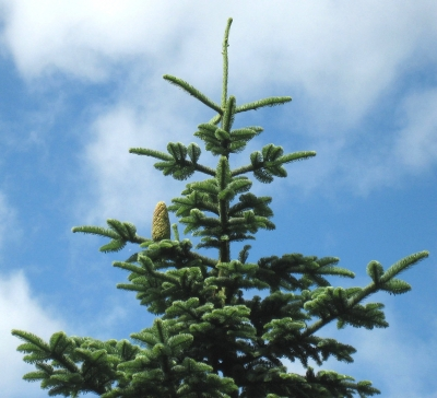 Abies procera - Sapin noble