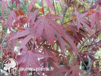 Acer palmatum 'atropurpureum' - erable du japon pourpre
