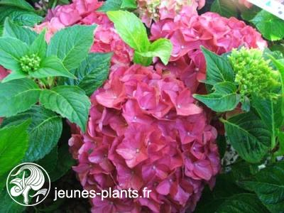 Hydrangea macrophylla 'King George' - Hortensia King George