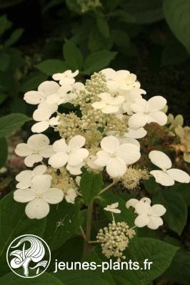 Hydrangea paniculata Early Sensation ® 'Bulk' cov  - Hortensia Early Sensation