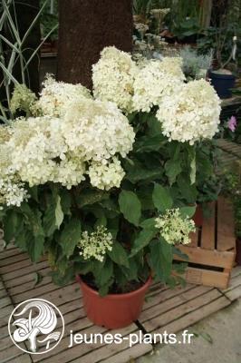 Hortensia à panicules phantom hydrangea paniculata \'phantom\'