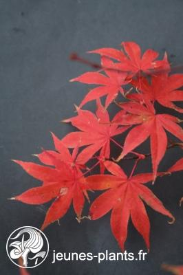 Acer palmatum 'Shirazz' - Erable du japon Shirazz