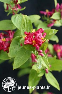 Lonicera tatarica 'Arnold Red' - Chevrefeuille de tatarie Arnold Red