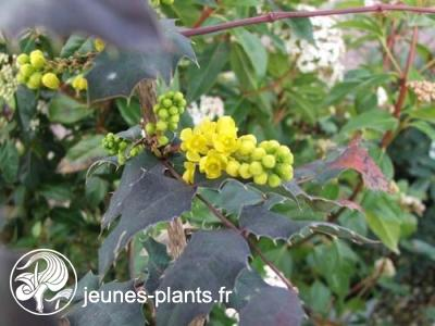 Mahonia x wagneri 'Pinnacle' - Mahonia Pinnacle