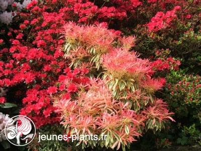 Pieris 'Flaming Silver' - Andromede Flaming Silver