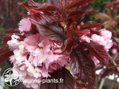 cerisier fleur à feuilles pourpre prunus 'royal burgundy'