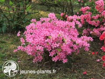 Azal e du japon hinomayo rhododendron 39 hinomayo 39 for Plantes japonaises exterieur