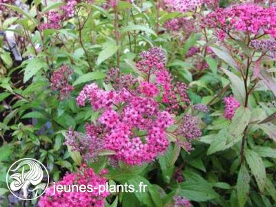 Spiraea japonica 'Anthony Waterer' - Spirée Anthony Waterer
