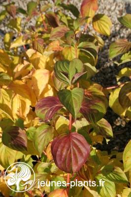 Cornus sanguinea 'Magic Flame' - Cornouiller sanguin Magic Flame