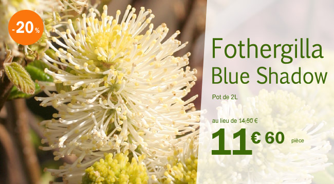 Fothergilla x intermedia Blue Shadow