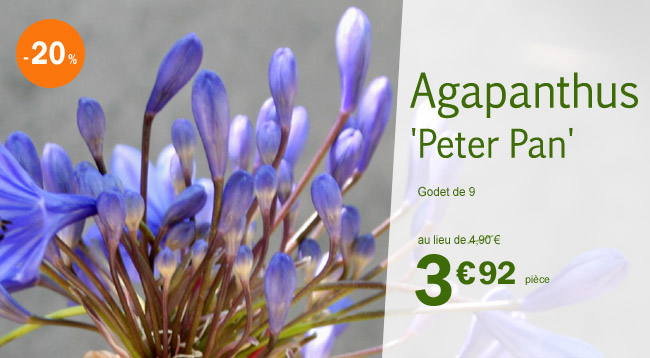 Agapanthe Peter Pan