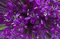 AIL ORNEMENTAL PURPLE SENSATION