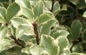 PITTOSPORUM VICTORIA