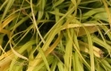 CAREX OSHIMENSIS 'EVERILLO' ®