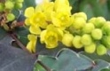 MAHONIA PINNACLE