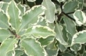 PITTOSPORUM ARGYROPHYLLUM