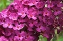 BUDDLEIA ROYAL RED
